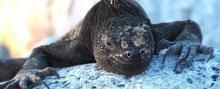 A marine iguana warms up in the sun after feeding under water