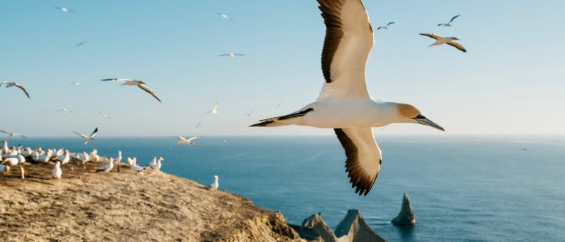 Cape Kidnappers Gannets